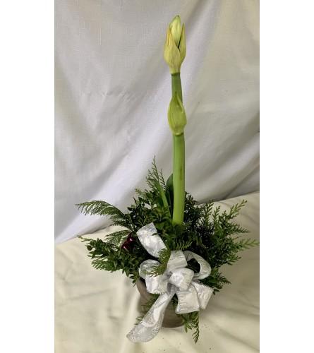 Decorative Amaryllis