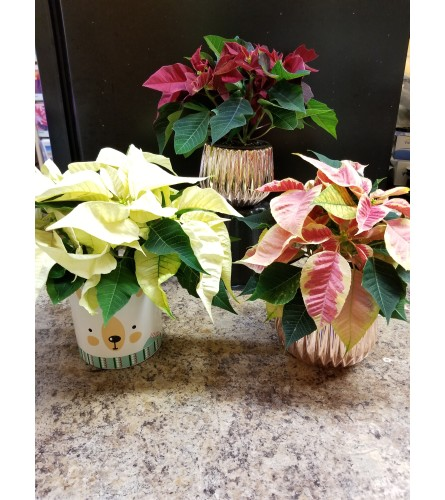 "4"" Poinsettia Plant - Assorted colors"