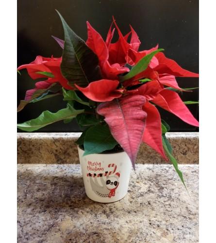 """4"""" Lovely Red Poinsettia"""