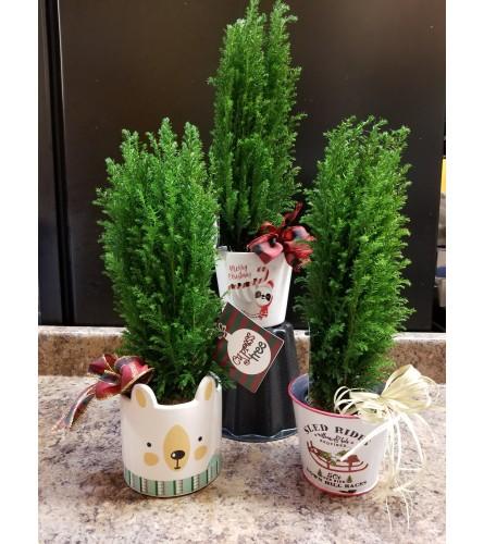"4"" Cypress Tree"