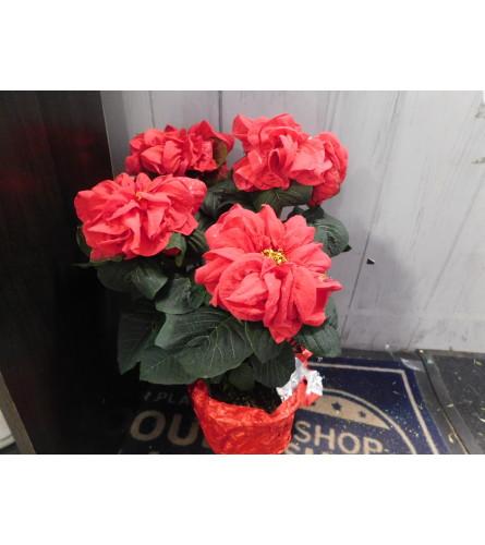elegant winter rose Poinsettia