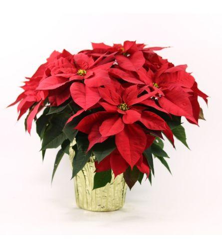 Holiday Poinsettia Cheer