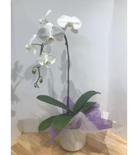Jennings Phalaenopsis Orchid