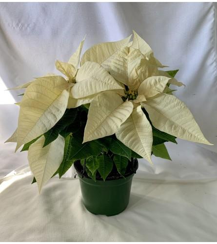 Festive Poinsettia- White