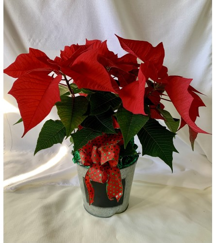 Festive Red Poinsettia in Tin