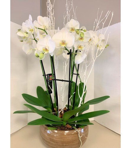 Stunning White Orchids