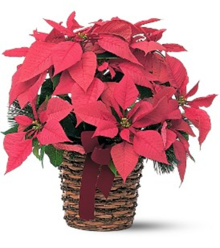 Pink Holiday Poinsettia