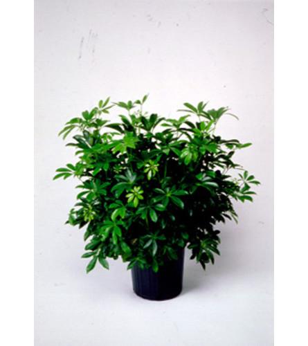 Schefflera Tropical Houseplant
