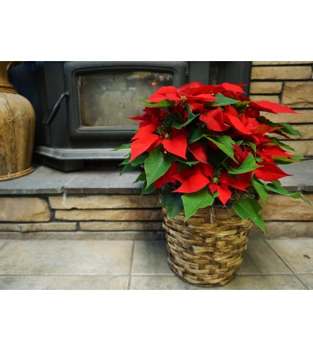 BRIGHT RED HOLIDAY POINSETTIA