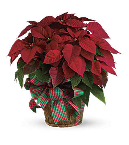 Holiday Red Poinsettias