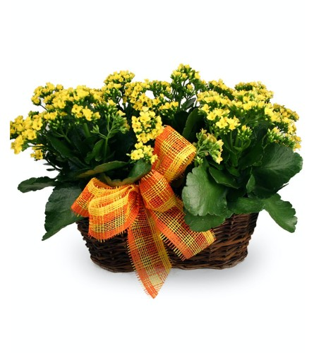 Double Kalanchoe Basket - Colors may vary