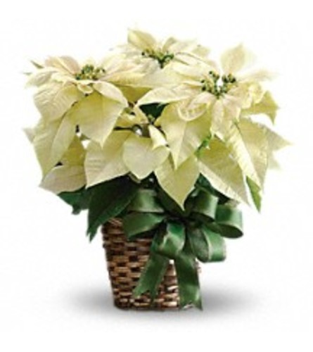 Holiday's White Poinsettia