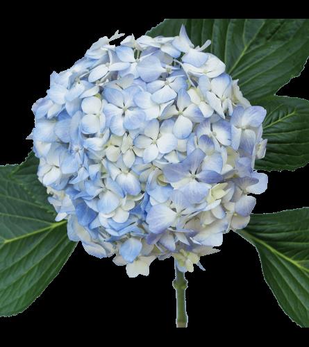 Baby Blue Hydrangea By The Stem