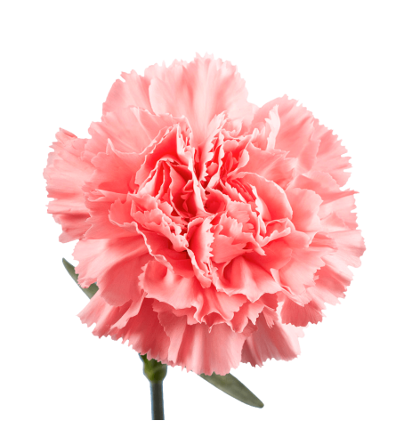 Blush Pink Carnations By The Stem