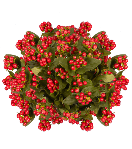 Hypericum Berries Red By The Stem