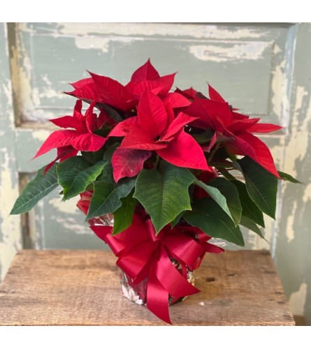Classic Holiday Poinsettia