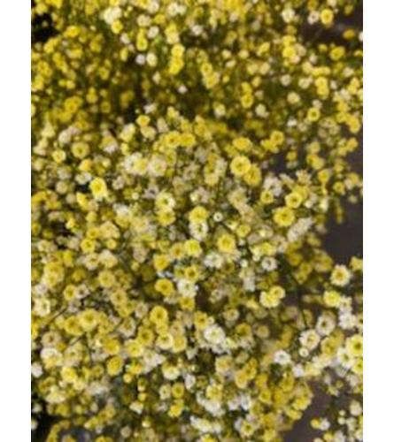 2 Bunches Yellow Tinted Baby's Breath