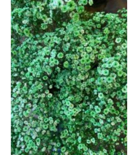 2 Bunches Green Tinted Baby's Breath
