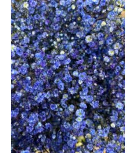 2 Bunches Tinted Dark Blue Baby's Breath