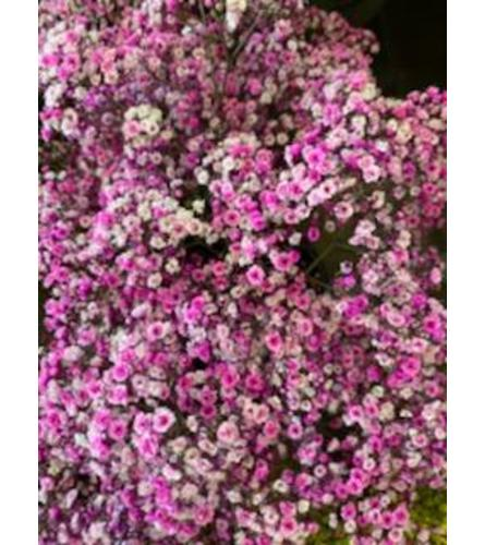 2 Bunches Hot Pink Tinted Baby's Breath