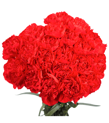 25 Stems Red Carnations