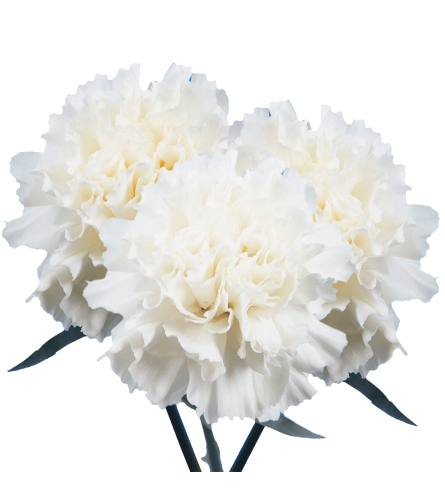 25 Stems White Carnations