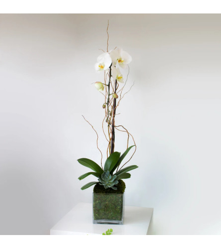 Single White Phaleonopsis