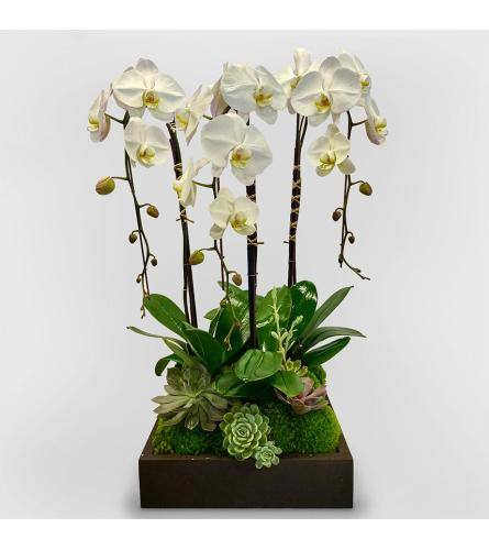 Dreamy Orchids