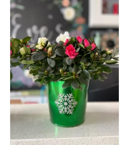 christmas cactus exclu