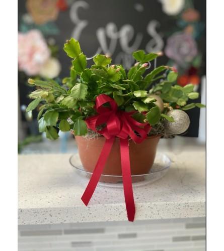 azalea christmas plant