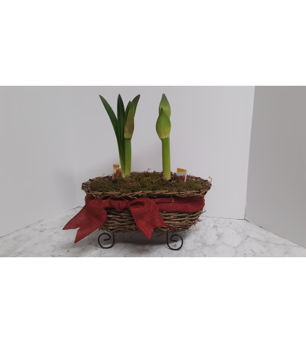 Amaryllis Pair Planter