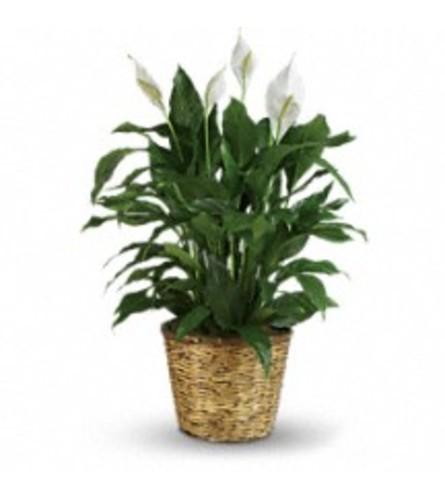 Simply Elegant Spathiphyllum in Basket