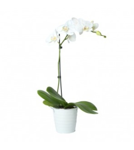 White Potted Orchid Plant