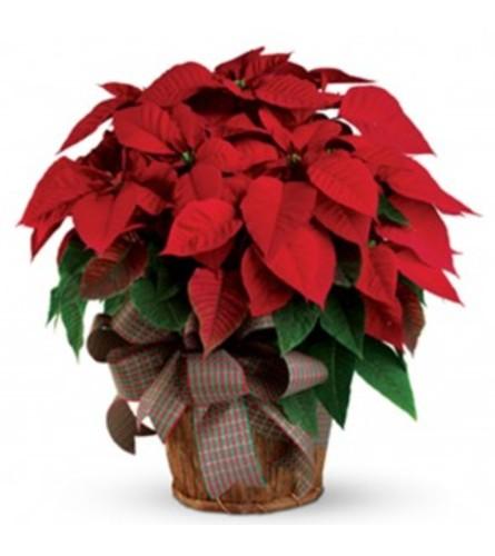 RED POINSETTIA PLANT IN WICKER BASKET