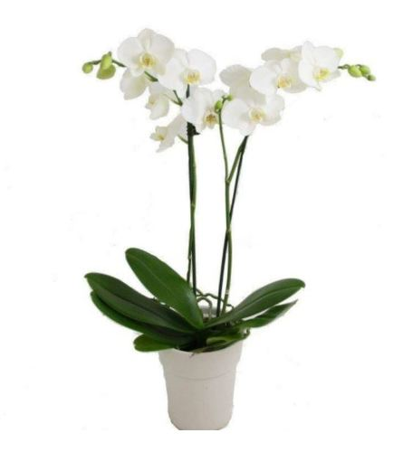 DOUBLE POTTED WHITE ORCHID PLANT