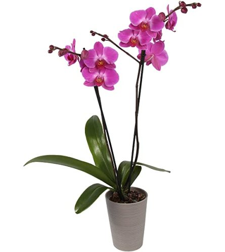 DOUBLE PURPLE POTTED ORCHID PLANT