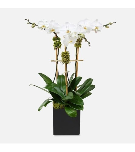 TRIPLE POTTED ORCHID PLANTS WHITE