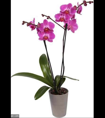Double Stem Purple Orchid