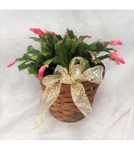 Traditional Christmas Cactus