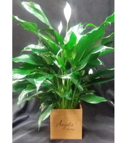 Angels' Arms Peace Lily
