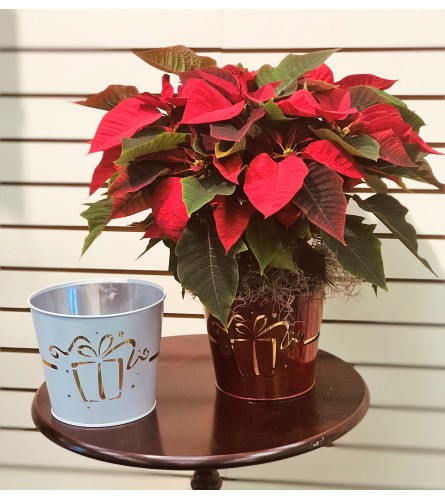 Cheery Christmas Poinsettia