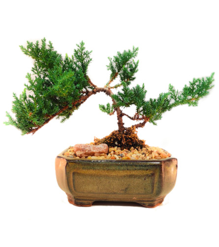 """Bonsai Tree - 6"""" Juniper"""