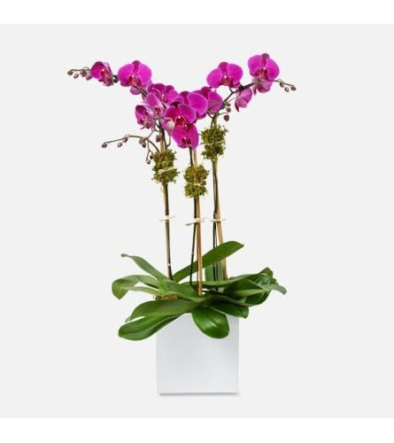 TRIPLE POTTED  ORCHID PLANT PURPLE