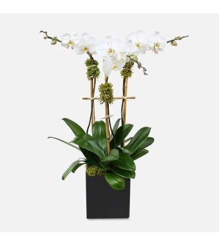 TRIPLE POTTED WHITE ORCHID PLANTS