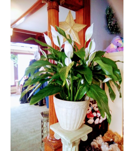 Stunning Peace Lily
