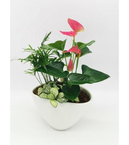 Boat Anthurium Planter
