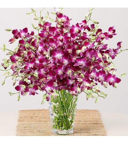 Purple Dendrobium Orchids Glamour