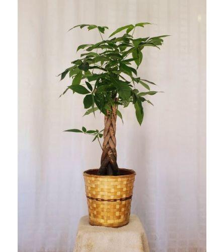 Premium Money Tree