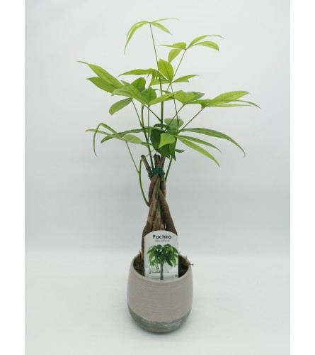 Money Tree Planter
