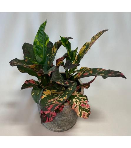 Sweet Croton Plant